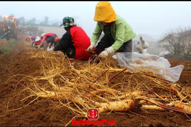 thu hoạch nhân sâm tươi hàn quốc