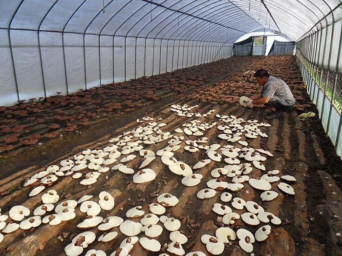 thu hoạch nấm linh chi hàn quốc trồng